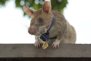 Africa's sniffer rats to the rescue